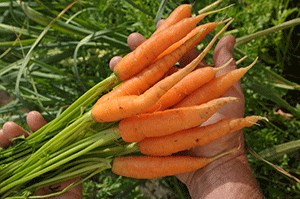 Carrots Links We Love